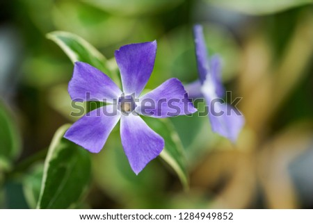 Vinca major flower with the common names bigleaf periwinkle, large periwinkle, greater periwinkle and blue periwinkle #1284949852