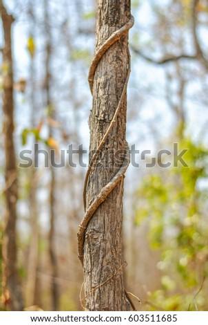 Vine around the tree  #603511685