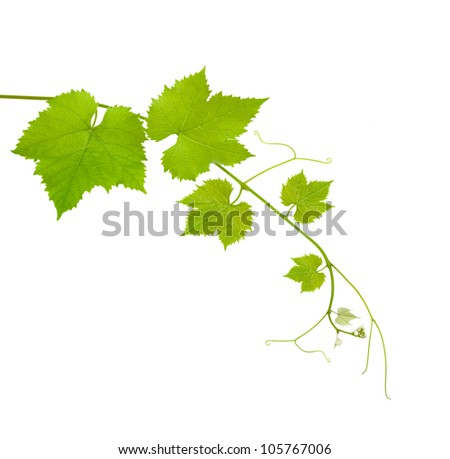 Vine branch isolated on white background