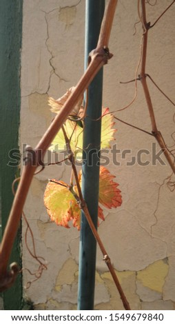 Vine branches with yellowed leaves #1549679840