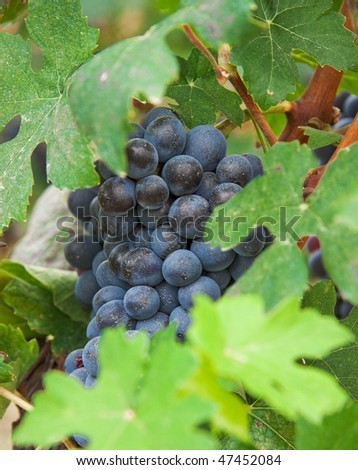 Vine grapes, grape harvest in Italy, Piedmont.