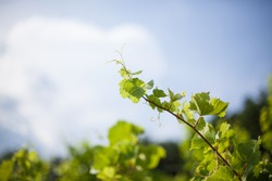 Vine in vineyard with sky background