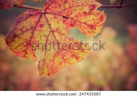 Vine leaf in autumn