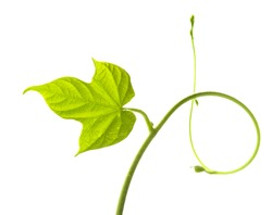 Vine leaf isolated on white