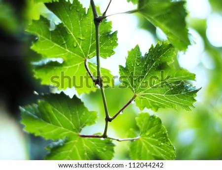 vine leafs and  rain