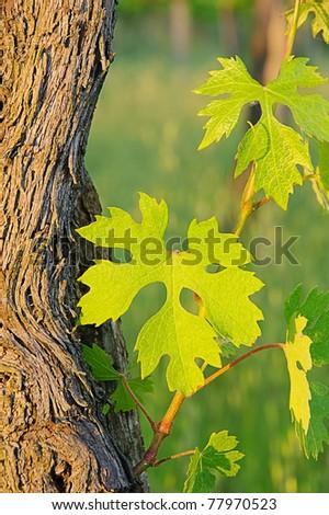 vine leaves in spring