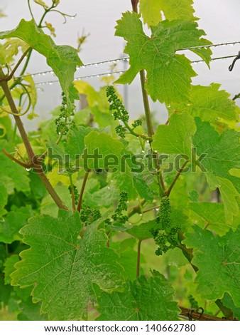 Vine leaves in the rain