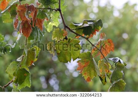 Vine leaves. Photo of grape leaves background, autumn harvest season.