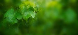 Vine leaves with raindrops.  Defocused background.  Green, agricultural landscape. Nature