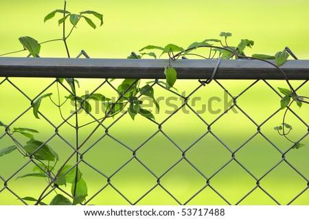 vine on a fence