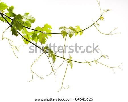 vine on a white background - stock photo
