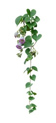 Vine plant ivy isolated on white background. Clipping path