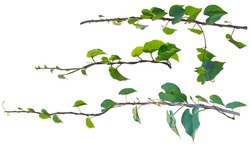 Vine plant, Ivy leaves collection isolated on white background, clipping path
