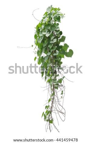 vine plants isolate on white background