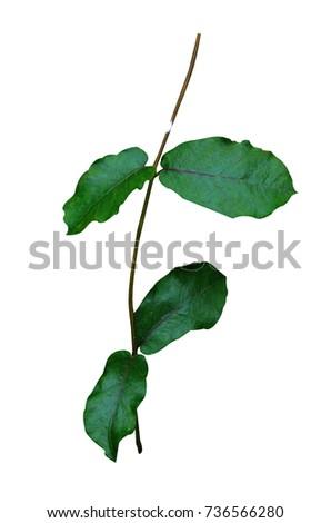 free photos vine plant avopix com