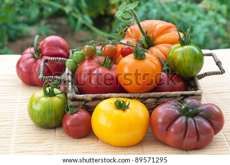 Vine Ripened, Variety of Freshly Picked  Home Grown Tomatoes Arranged in a Basket and on a Table in a Back Yard with Tomato Plants in the Background