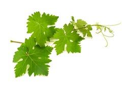 Vine shoot isolated on white background