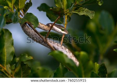 Vine Snake, Kruger National Park, South Africa