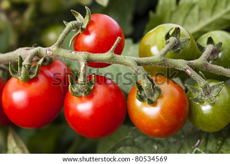 Vine tomato in colours from red to green ripeing on the vine