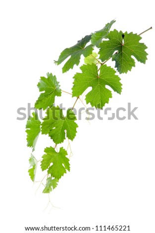 Vine with green leaves. isolate