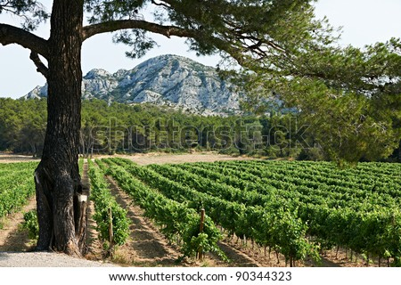 Vineard and pine tree in French Provence, region PACA