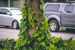 Vines Growing up tree trunk