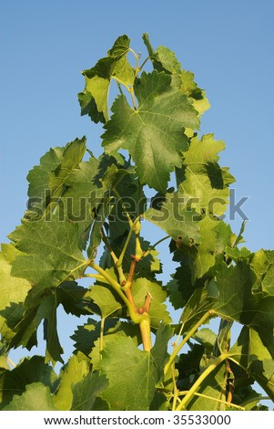 Vines leaves against blue sky in Provence