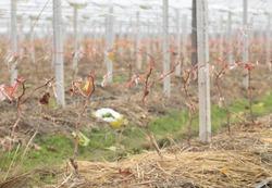 Vines pruned in vineyard in winter