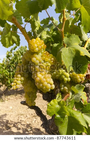 Vines with grapes ready to be picked
