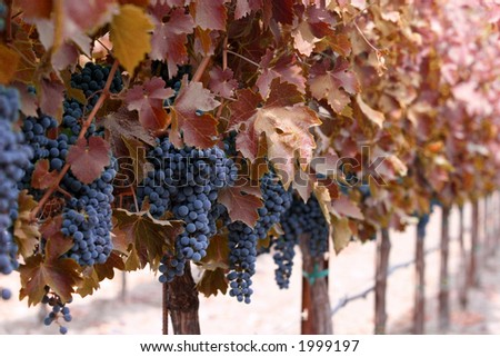 Vines with red leaves and grape clusters
