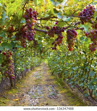 Vineyard #136347488