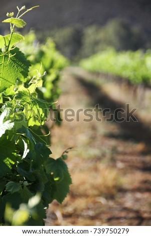 vineyard #739750279