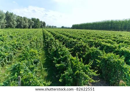 Vineyard #82622551
