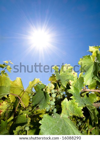 Vineyard against bright summer sun with blue sky
