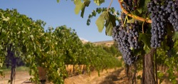 Vineyard and a Row of Grapes ready to Harvest farmers field sunshine