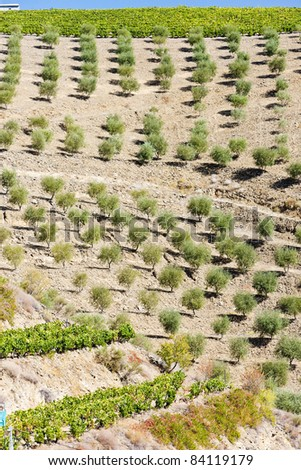 vineyard and olive trees, Douro Valley, Portugal