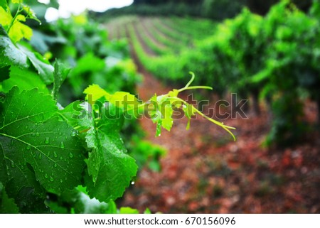 Vineyard and vines in the early summer, royal vineyard  #670156096