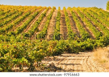 Vineyard at Autumn, La Rioja (Spain)