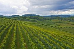 Vineyard at Bento Goncalves - rio Grande do Sul - Brazil