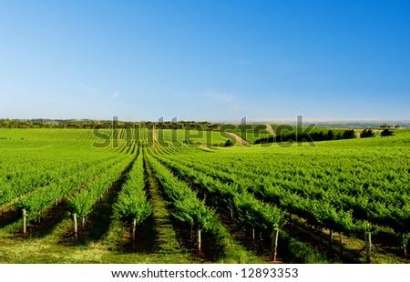Vineyard at One Tree Hill, South Australia
