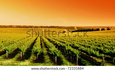 Vineyard at One Tree Hill, South Australia