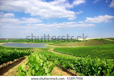Vineyard at Portugal, Alentejo region.