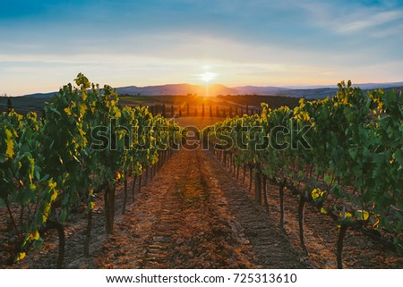 Vineyard at sunset. #725313610