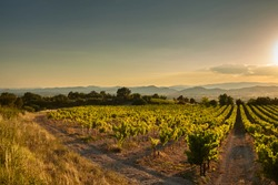 Vineyard at sunset. A plantation of grapevines. Hilly mediterranean landscape, south France, Europe