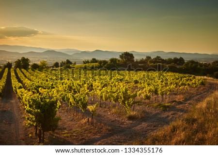 Vineyard at sunset. A plantation of grapevines. Hilly mediterranean landscape, south France, Europe #1334355176