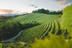 Vineyard at sunset, Friuli Venezia Giulia region, Udine Province