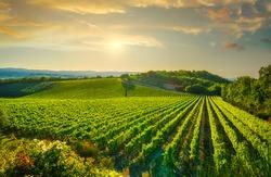 Vineyard at sunset. Sangiovese red Italian wine grape variety. Castellina in Chianti, Tuscany, Italy, Europe.