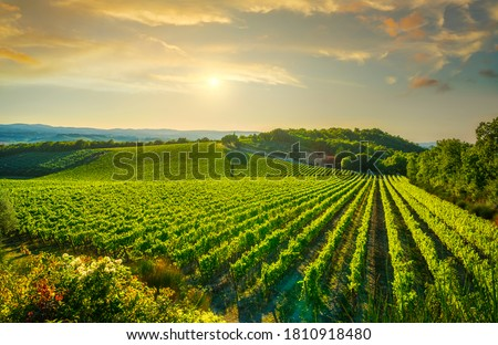 Vineyard at sunset. Sangiovese red Italian wine grape variety. Castellina in Chianti, Tuscany, Italy, Europe. Photo stock ©