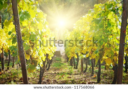 vineyard at the evening