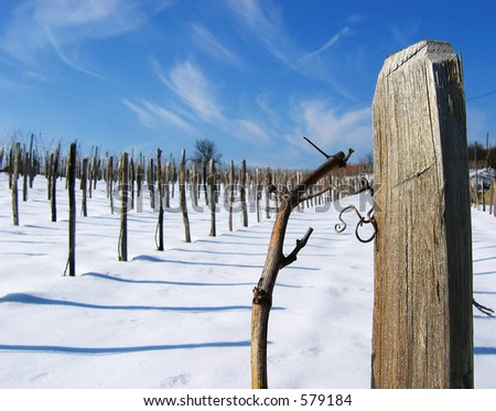 vineyard at winter.